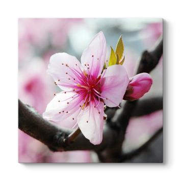 Baharda Kiraz Çiçeği Tablosu